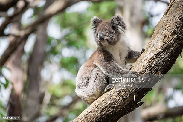 the australia koala - koala stock photos and pictures