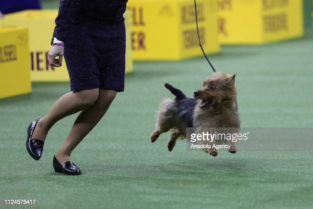 The Australian Terrier named 'Bacon' and handler compete during the 143rd Westminster Kennel Club Dog Show at Madison Square Garden in New York City...