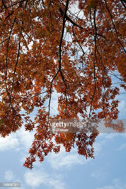 The autumn leaves of a northern red oak