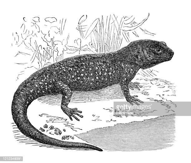 the axolotl, ambystoma mexicanum- species, classification of batrachians and other amphibia - osseous fishes. antique illustration, published 1894 - sapo do suriname imagens e fotografias de stock