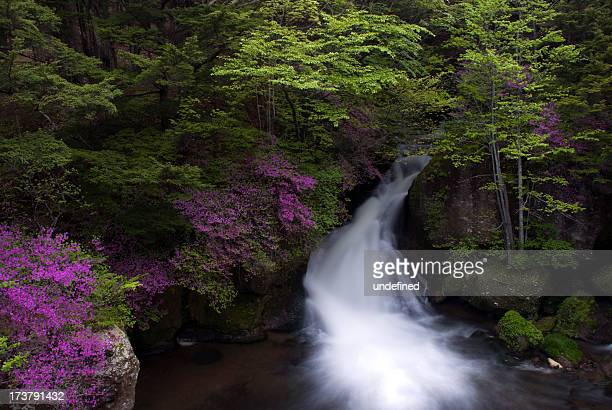 the azalea which blooms to the waterfall of ryuzu - 栃木県 ストックフォトと画像