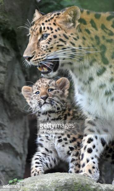 The baby Amur leopard Akeno walks together with his mother Mia and his brother through the inclosure in the Zoo in Leipzig eastern Germany on July 7...