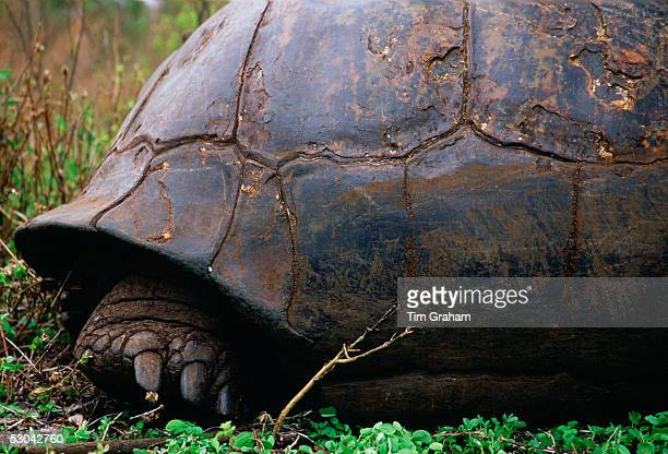 The back foot of a giant tortoise on the Galapagos Islands.