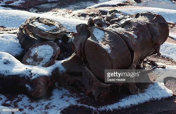 The backbone of one of two dead sperm whales that recently appeared on the beach of Wangerooge Island on January 18 2016 in Wilhelmshaven Germany A...