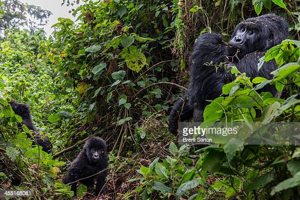 The Bageni family in the gorilla sector of Virunga National Park, on August 6, 2013 in Bukima, DR Congo. The gorilla sector is currently occupied by...
