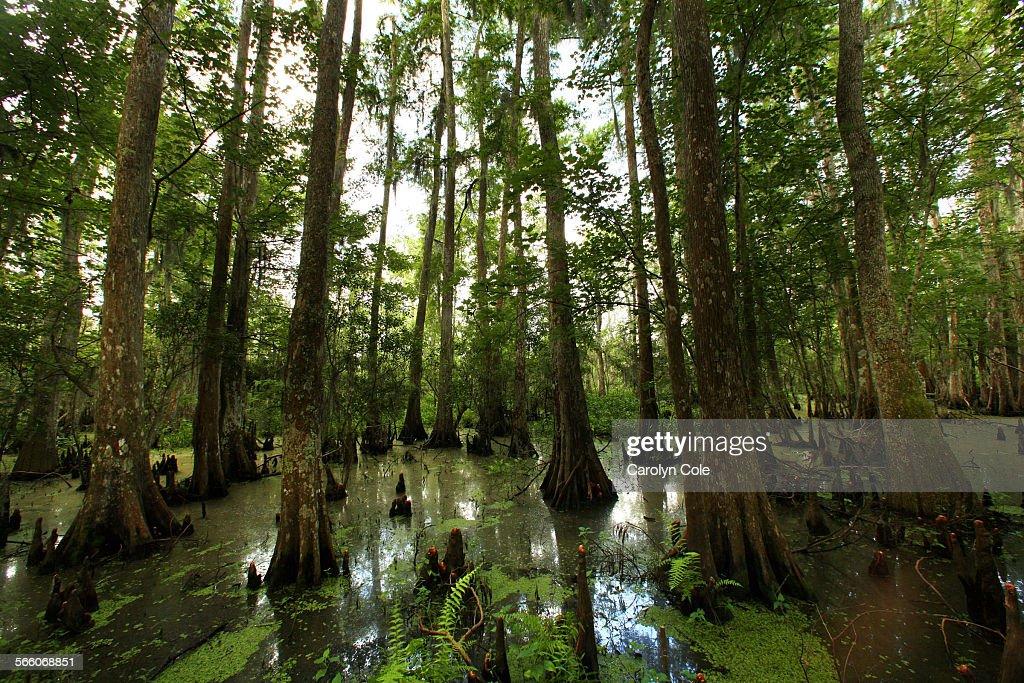 BARATARIA PERSERVE, LOUISIANA––JUNE 9, 2010––The Bald Cypress Swamp of Barataria Perserve. The Bara : News Photo