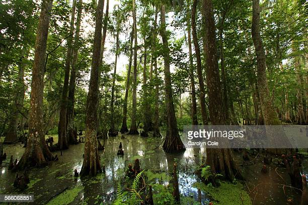 PERSERVE LOUISIANA––JUNE 9 2010––The Bald Cypress Swamp of Barataria Perserve The Barataria Perserve which is more biologically diverse than the...