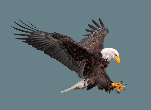 The bald eagle in flight. 1014738002