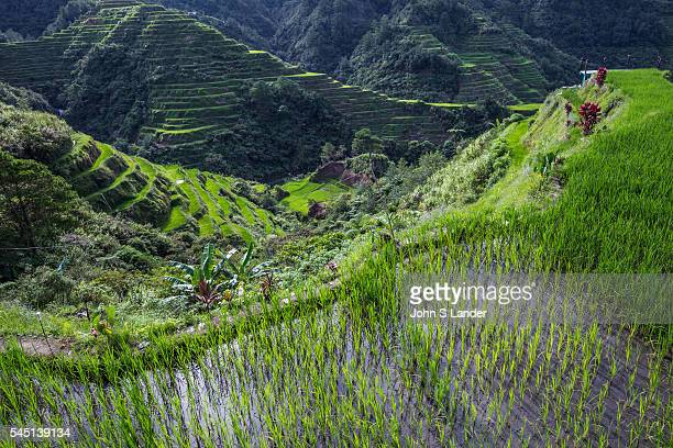 The Banaue Rice Terraces are a great example of a living cultural landscape that can be traced as far back as 2000 years ago The Ifugao indigenous...