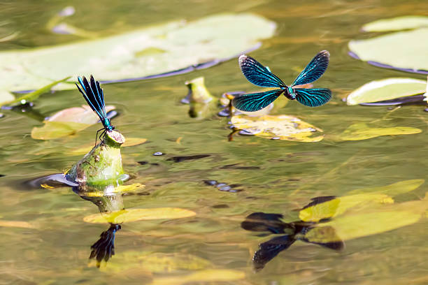 Image result for a demoiselle rising from water