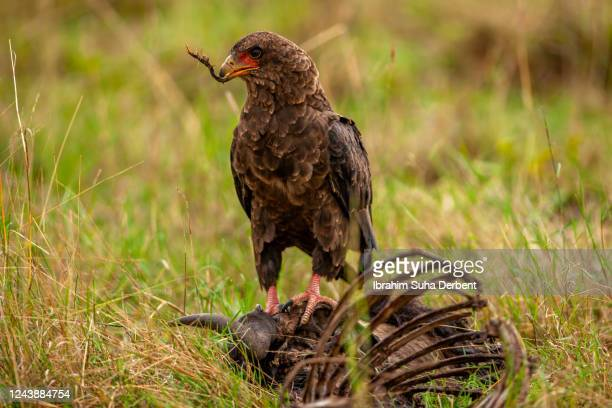 the bateleur eagle is scavenging a carrion - bateleur eagle stock pictures, royalty-free photos & images