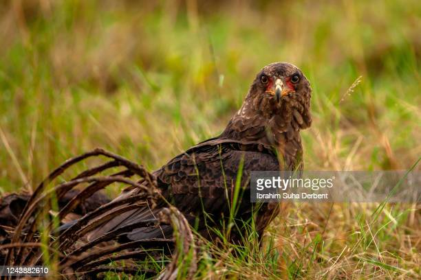 the bateleur eagle is standing besides a carrion - bateleur eagle stock pictures, royalty-free photos & images