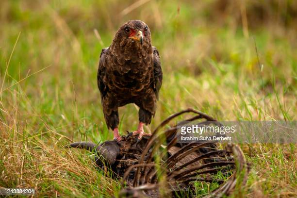 the bateleur eagle is standing on a carrion - bateleur eagle stock pictures, royalty-free photos & images