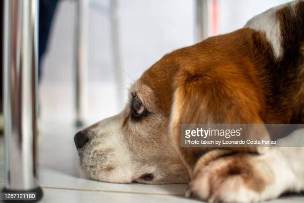 the beagle - leonardo costa farias - fotografias e filmes do acervo