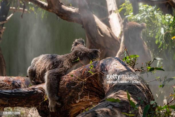 the bear, sunbury, australia - marsupial imagens e fotografias de stock