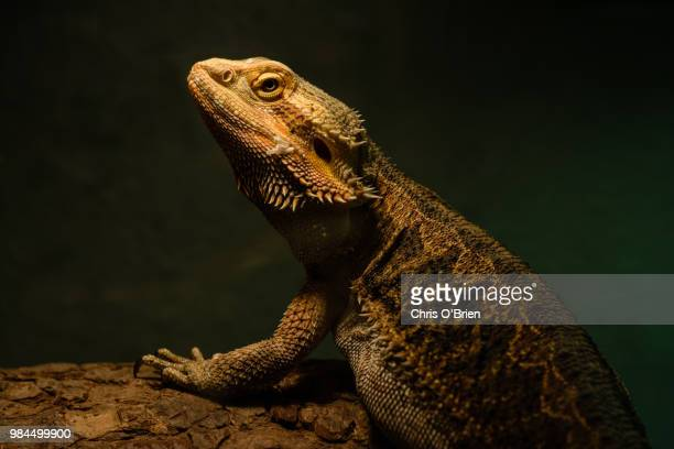 the bearded dragon - bearded dragon stock photos and pictures