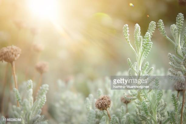 the beautiful bushes with dry flowers and green leaves under the shinning of sunlight in he morning for the large space which creating the natural background. - soft focus stock pictures, royalty-free photos & images