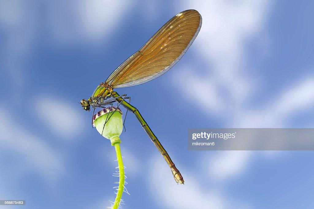 The beautiful demoiselle (calopteryx virgo) : Stock Photo