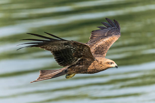 The Beautiful Eagle