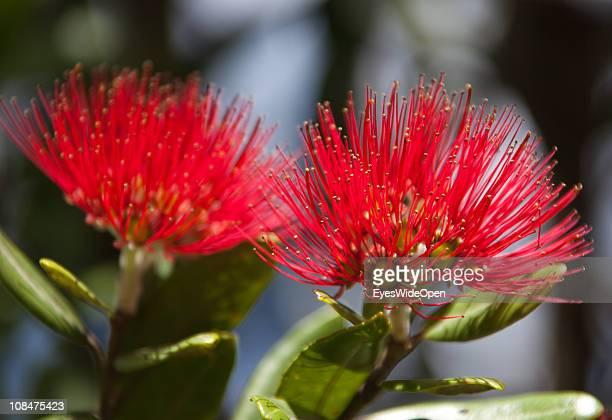 The beautiful flower Pohutukawa on November 27 2010 in Coromandel Coromandel Peninsula New Zealand North Island