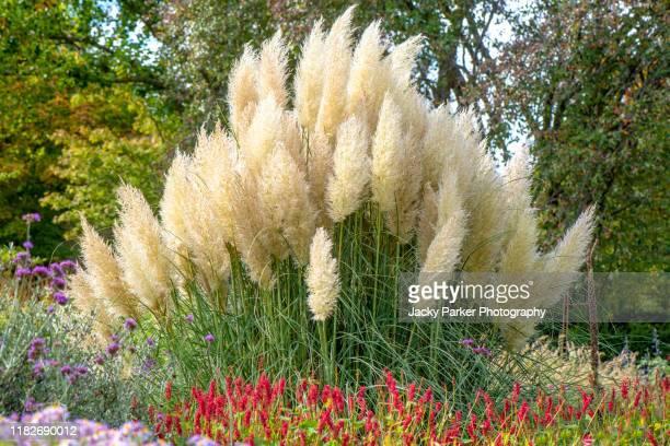 the beautiful ornamental summer grass cortaderia selloana, commonly known as pampas grass - pampa stock-fotos und bilder