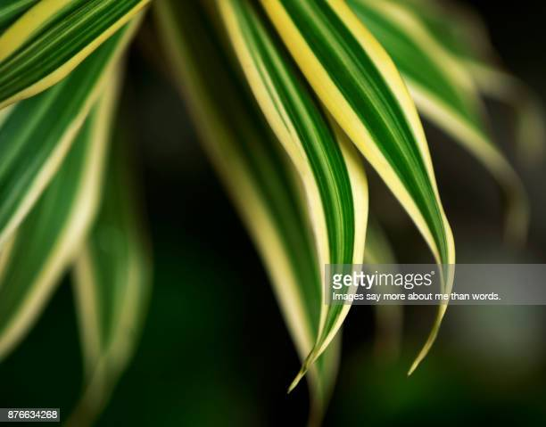 The beautiful patterns of nature. Close-up of dracaena's leaves.