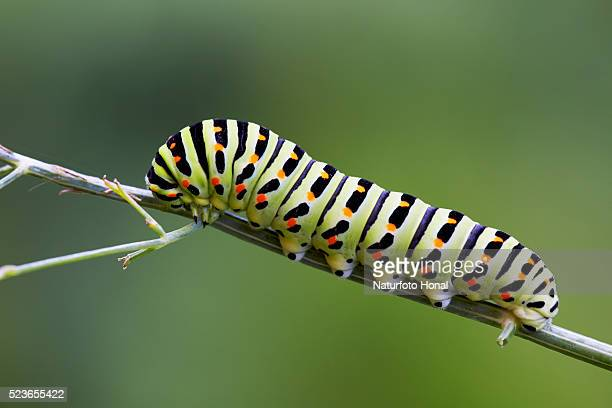 The beautiful rare caterpillar of a Swallowtail (Papilio machaon) on dill (Anethum graveolens) in a rural garden
