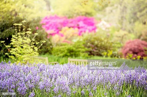 The beautiful spring azure-blue camassia leichtlinii flowers (Caerulea Group)