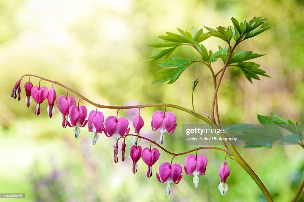 The beautiful spring flowering pink bleeding heart flowers also the beautiful spring flowering pink bleeding heart flowers also known as lamprocapnos spectabilis mightylinksfo