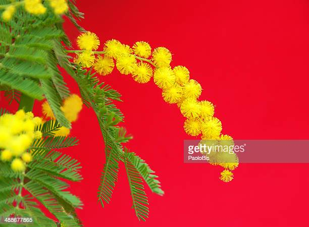 the beautiful yellow flowers of the mimosa. - mimose foto e immagini stock
