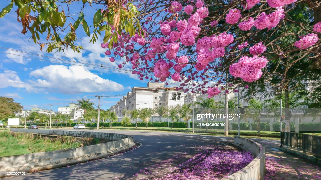 The beauty and glamor of the pink Ipê (Handroanthus) coloring and beautifying the city. : Stock Photo
