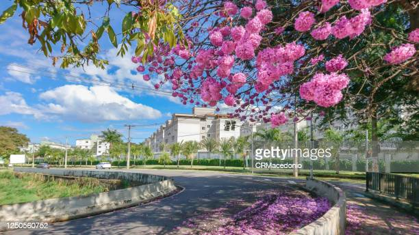 the beauty and glamor of the pink ipê (handroanthus) coloring and beautifying the city. - crmacedonio stock pictures, royalty-free photos & images