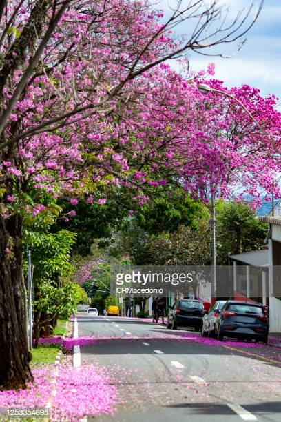 the beauty and glamor of the pink ipê (handroanthus) coloring and beautifying the city. - crmacedonio imagens e fotografias de stock