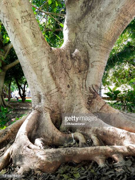 the beauty and strength of the tree trunk. - crmacedonio stock pictures, royalty-free photos & images