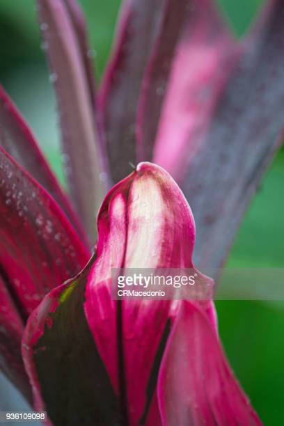 the beauty of cordyline. - crmacedonio stock photos and pictures