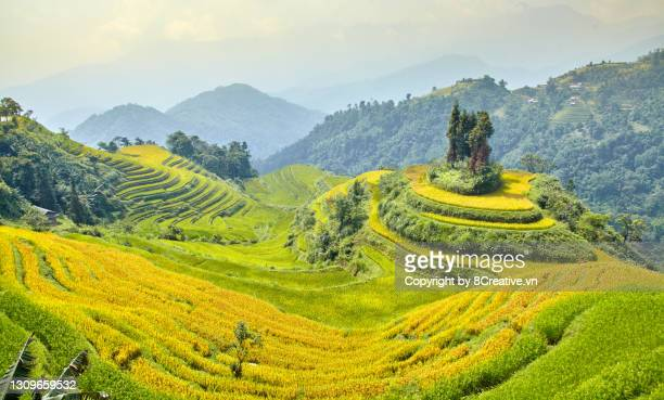 the beauty of terraced fields in harvest season. - crop stock pictures, royalty-free photos & images
