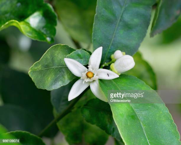 the beauty of the lemon (tahiti lime) blossom. - crmacedonio stock photos and pictures