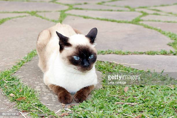 the beauty of the siamese cat - siamese cat stock pictures, royalty-free photos & images