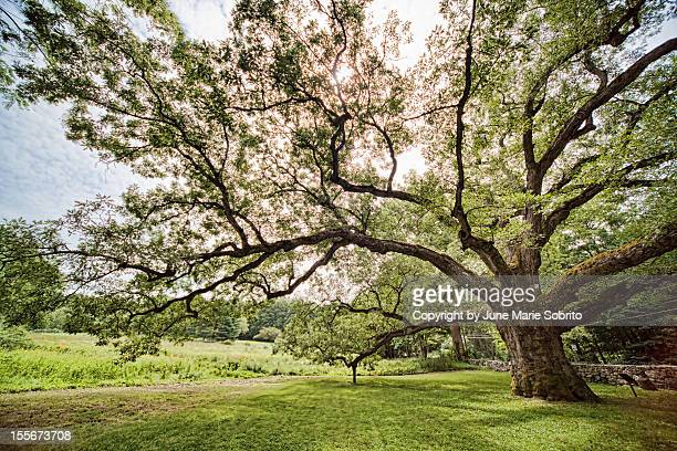 the bedford oak - westchester county stock photos and pictures