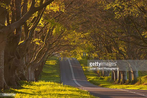 The beech avenue at Kingston Lacy in Dorset