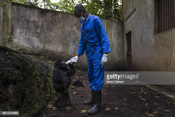 The beginning of the day at Senkekwe Mountain Gorilla Orphanage as caretakers feed and interact with a new orphan mountain gorilla called Ihirwe at...