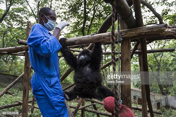 The beginning of the day at Senkekwe Mountain Gorilla Orphanage as caretaker Baboo teaches new orphan mountain gorilla to climb at at ICCN...