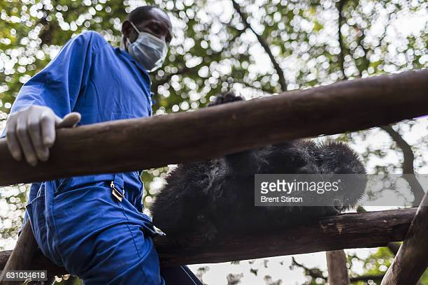 The beginning of the day at Senkekwe Mountain Gorilla Orphanage as caretaker Baboo teaches new orphan mountain gorilla Ihirwe to climb at ICCN...