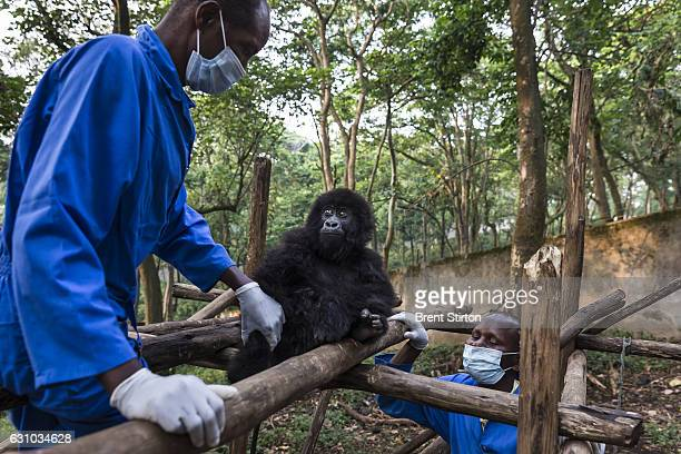 The beginning of the day at Senkekwe Mountain Gorilla Orphanage as caretakers interact with a new orphan mountain gorilla at ICCN headquarters...