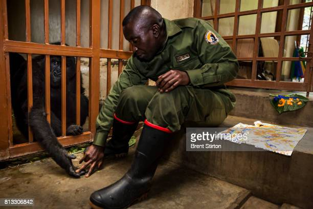 The beginning of the day at Senkekwe Mountain Gorilla Orphanage at ICCN headquarters Rumangabo DRC on November 16 2015