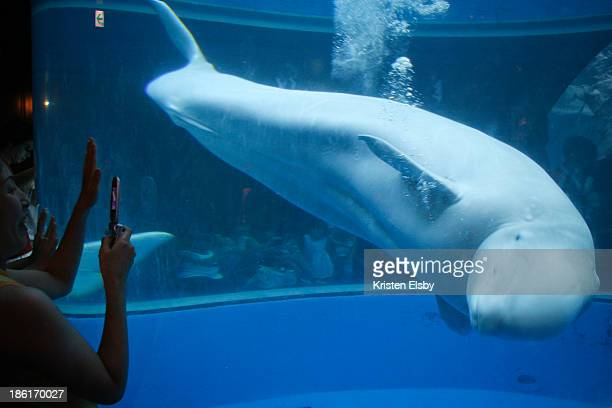 CONTENT] The beluga whale is an intensely curious creature the three at the aquarium at Hakkeijima Sea Paradise slowly swim around their giant...