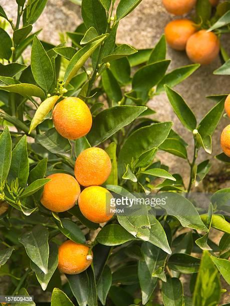 、ベルガモットのフルーツ、緑の葉