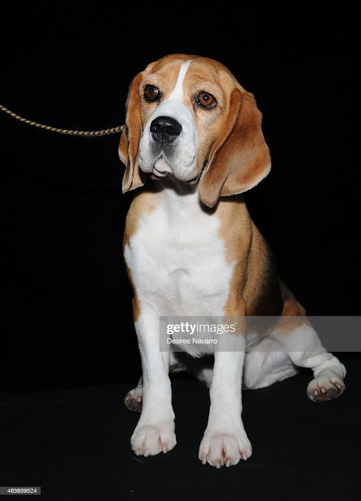 AOL BUILD Speaker Series: Westminster Dog Show - Best In Show : News Photo