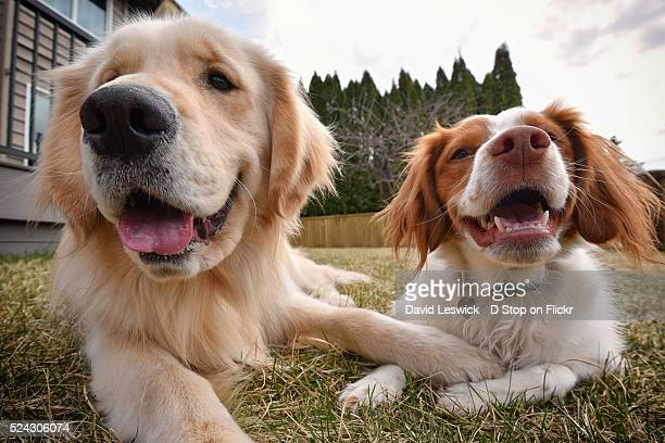 the best of friends - brittany spaniel stock pictures, royalty-free photos & images