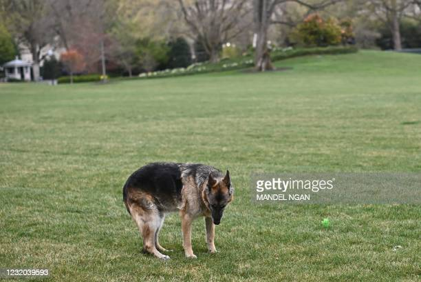 The Bidens dog Champ is seen on the South Lawn of the White House in Washington, DC, on March 31, 2021. - First dogs Champ and Major Biden are back...